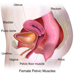 Diagram of the pelvic muscles