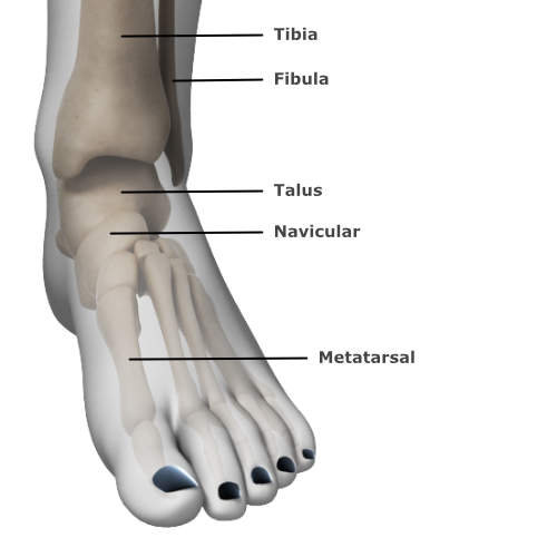 skeletal anatomy of the ankle