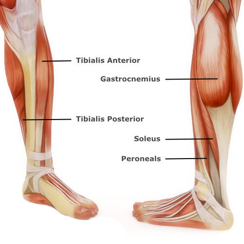 muscular anatomy of the ankle