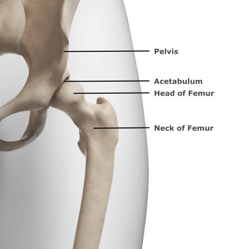 skeletal anatomy of the hip