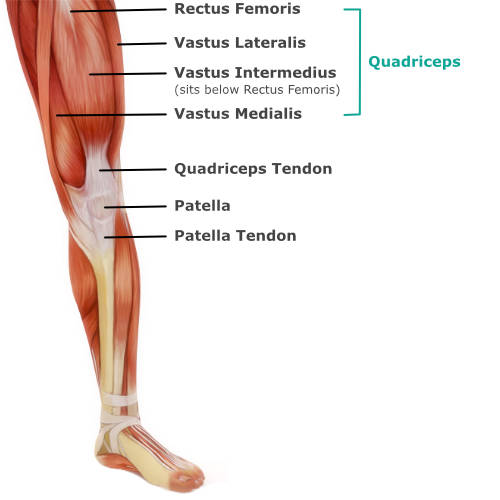 muscular anatomy of the knee