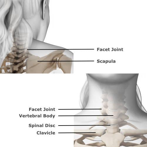 skeletal anatomy of the neck