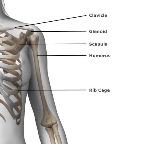 skeletal anatomy of the shoulder & elbow